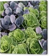Cabbage Patch Canvas Print