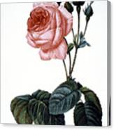 Cabbage Rose Canvas Print