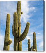 Cactus Arms Canvas Print