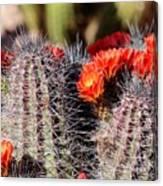 Cactus Bloom 033114g Canvas Print
