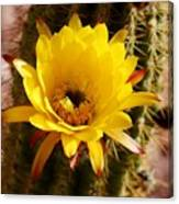 Cactus Bloom Yellow 050914a Canvas Print