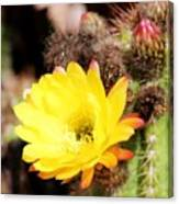 Cactus Blooms Yellow 050214g Canvas Print
