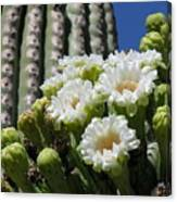 Cactus Budding Canvas Print