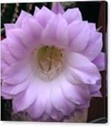 Cactus Flower Purple Canvas Print