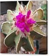Cactus In Flower Canvas Print