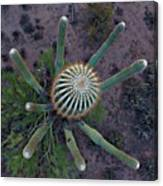 Cactus, Saguaro Long Armed Canvas Print