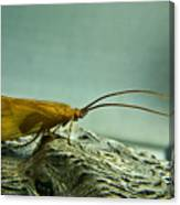 Caddisfly Canvas Print