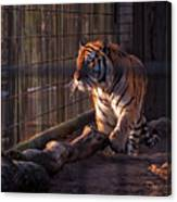 Caged King Of The Jungle Canvas Print