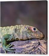 Caiman Lizard Canvas Print