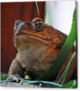 Cain Toad Canvas Print