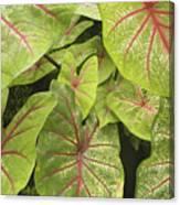Caladium Leaves Canvas Print