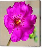 Calandrinia Flower Canvas Print