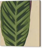 Calathea Zebrina, Maranta Zebrina Canvas Print