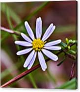 Calico Aster Canvas Print