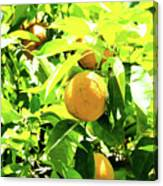 California Bright Orange Fruit Tree In Downtown Sacramento In Ca Canvas Print