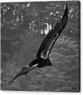 California Condor In Flight II Bw Canvas Print