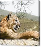 California Cougar Canvas Print