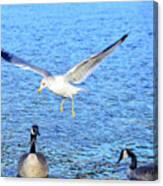 California Gull - Canada Geese Canvas Print