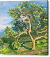 California Oak Canvas Print