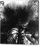 California Palm Tree Canvas Print