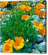 California Poppie In River Rock Canvas Print