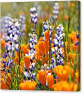 California Poppies And Lupine Wildflowers Canvas Print