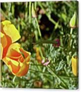 California Poppies In Mariposa, California Canvas Print