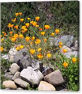 California Poppies Photograph Canvas Print