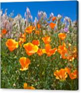 California Poppies, White Grasses And Blue Sky In Windy Antelope Valley Ca Poppy Reserve Canvas Print