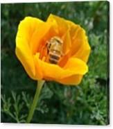 California Poppy And Honey Bee Canvas Print