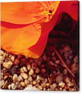 California Poppy And Scallop Shell Canvas Print