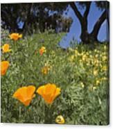 California Poppy Eschscholtzia Canvas Print