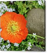 California Poppy Rock Garden Canvas Print
