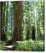 California Redwood Forest Trees Art Prints Canvas Print