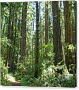 California Redwood Trees Forest Art Prints Canvas Print