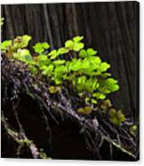 California Redwoods 4 Canvas Print