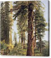California Redwoods Canvas Print