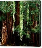 California Redwoods Canvas Print