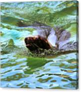 California Sea Lion-1611 Canvas Print
