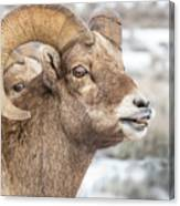 Calling All Ewes Canvas Print