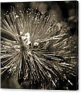 Callistemon II Canvas Print