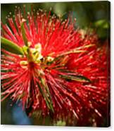 Callistemon Canvas Print