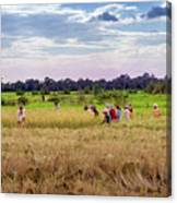 Cambodia Field Workers Harvesting Rice Canvas Print