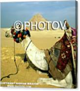 Camel And The Great Pyramids Of Giza - Egypt Canvas Print
