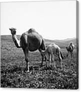 Camel And Young Canvas Print
