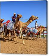 Camel Racing In Dubai Canvas Print