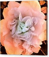 Camellia Bloom Canvas Print