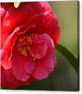 Camellia Rosette Canvas Print
