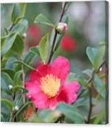 Camellia Sasanqua Yuletide Canvas Print