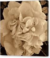 Camellia Sepia Canvas Print